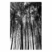 Fototapeta Tall Trees Background