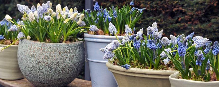 Wiosenne Kwiaty Szafirki Czasnawnętrze