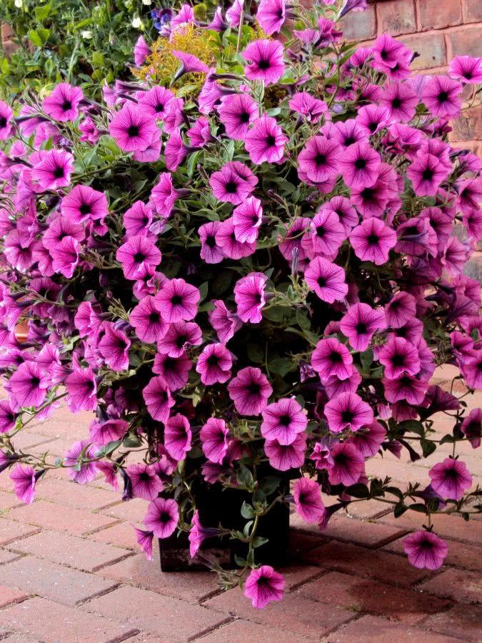 Rosliny Balkonowe Pelargonia I Petunia Czasnawnetrze
