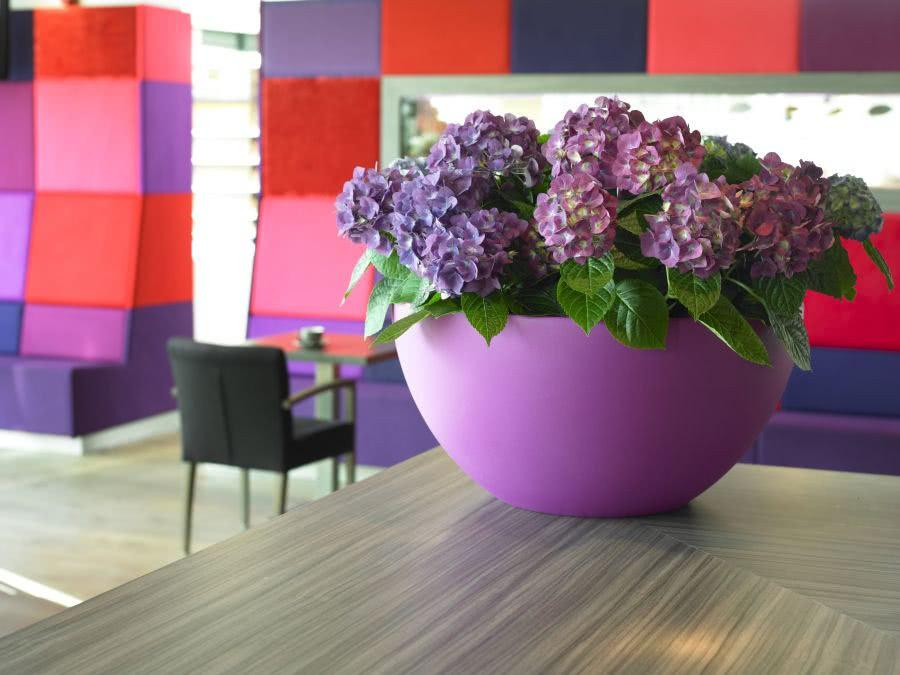 Hortensja Ogrodowa Kwiat Dekoracyjny Czasnawnętrze